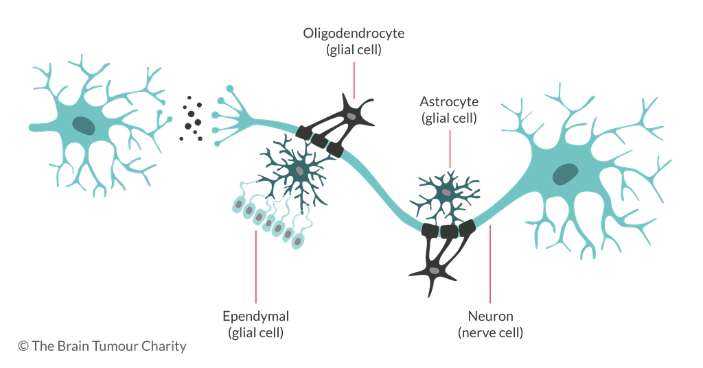 Labelled diagram of brain cells