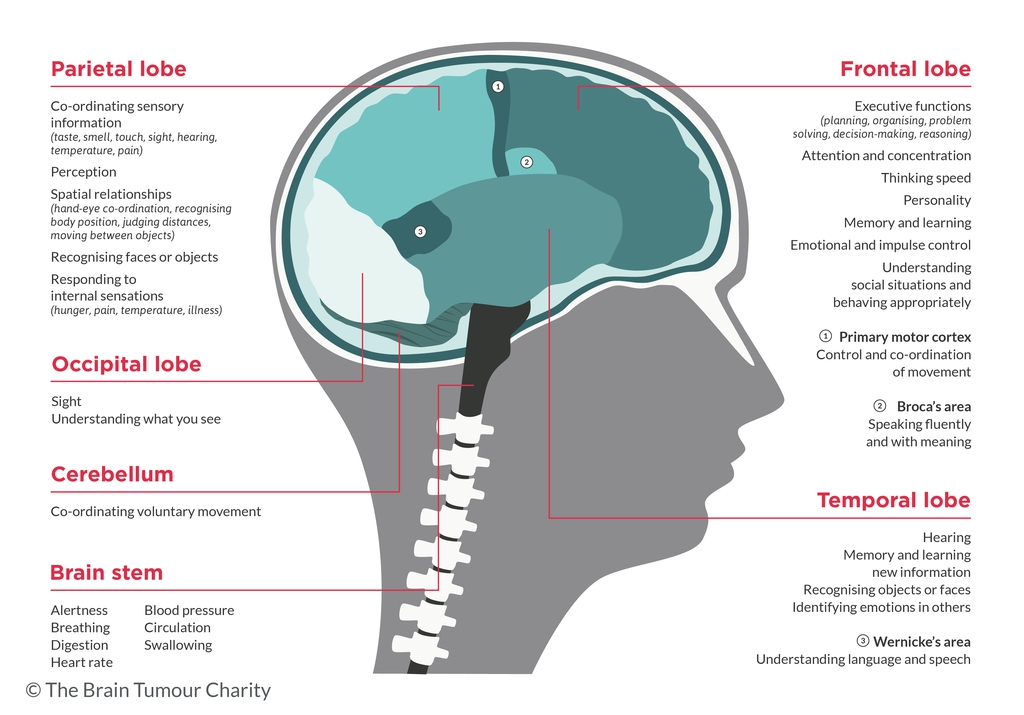 Memory problems the brain tumour charity a graphic diagram of the different areas of the brain and their functions ccuart Images