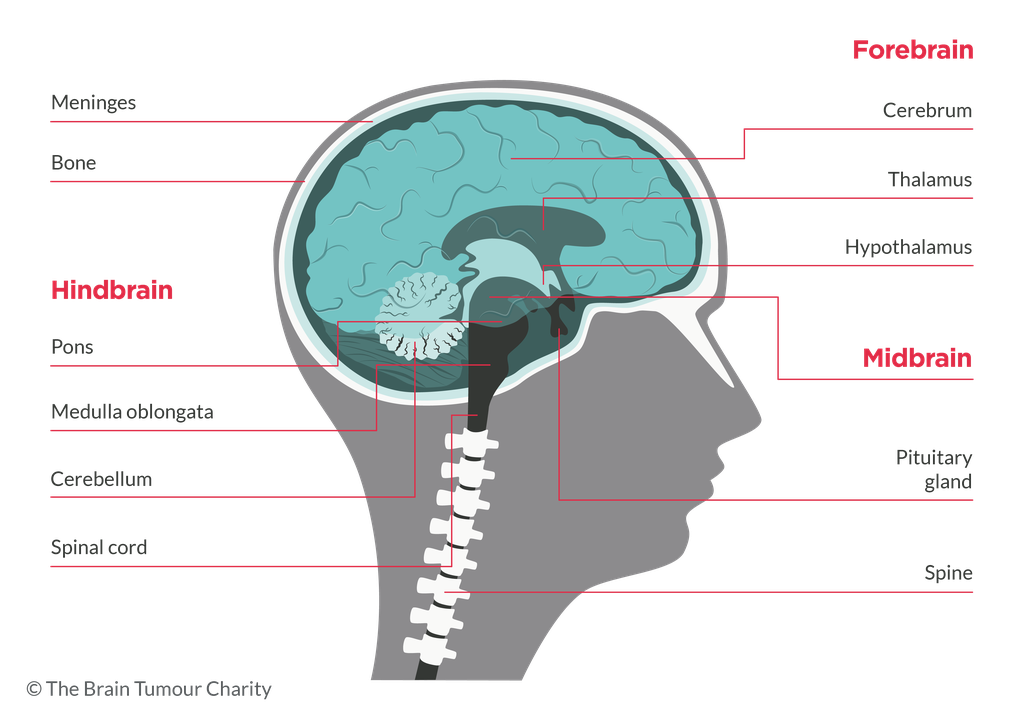 Diagram of main parts of the brain