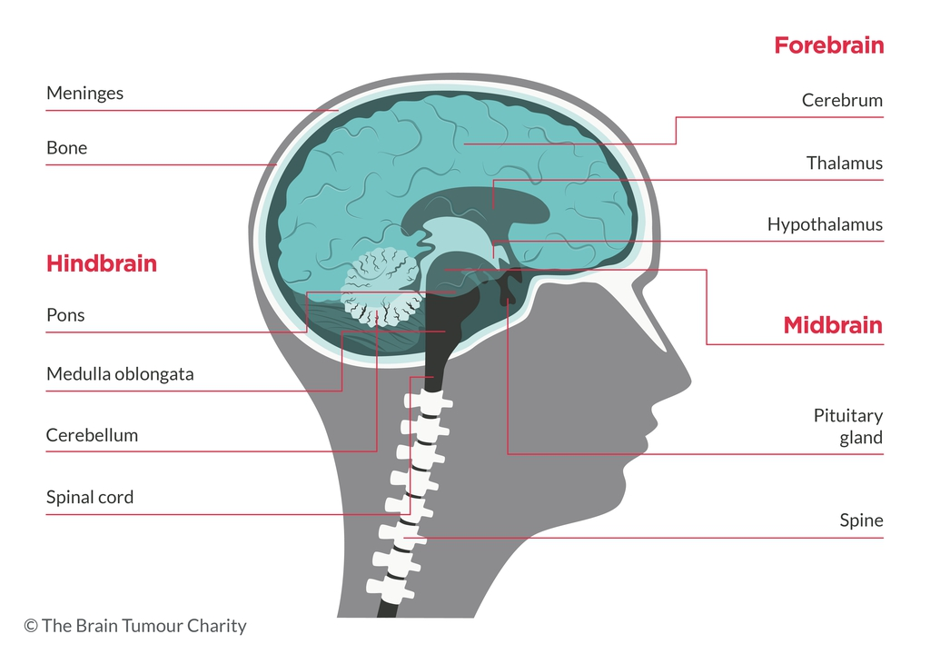a graphic diagram of the human brain showing the names of different areas